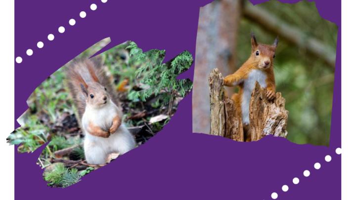 Red Squirrel Safari 2019 (3)