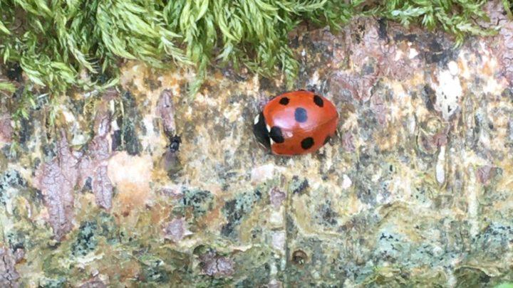 7 spot ladybird on log