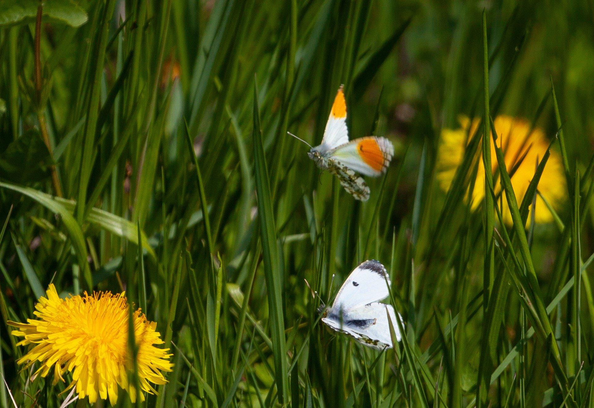 orange tip butterfly 5051334 1920