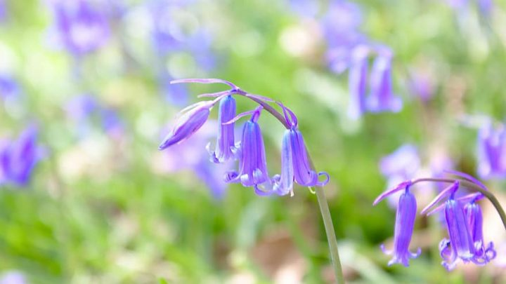 bluebell flowers nature spring blue forest plant bloom blossom