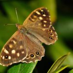 speckled wood 430203 1920